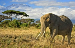 Elephant with Mt. Kilimanjaro at Amboseli National Park, Kenya.