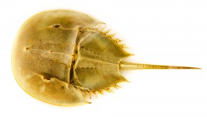 CURIOUS_CRITTERS_by_David_FitzSimmons_3_Atlantic_Horseshoe_Crab_1920