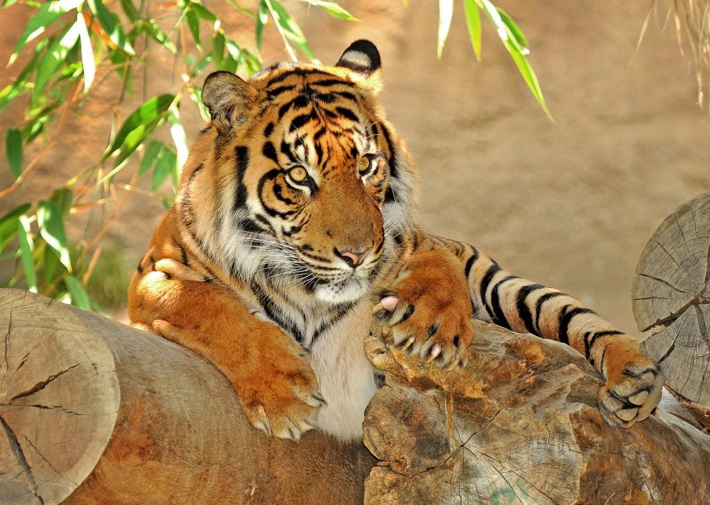 GL-Tiger