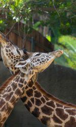 GL-Giraffes-JamiePham