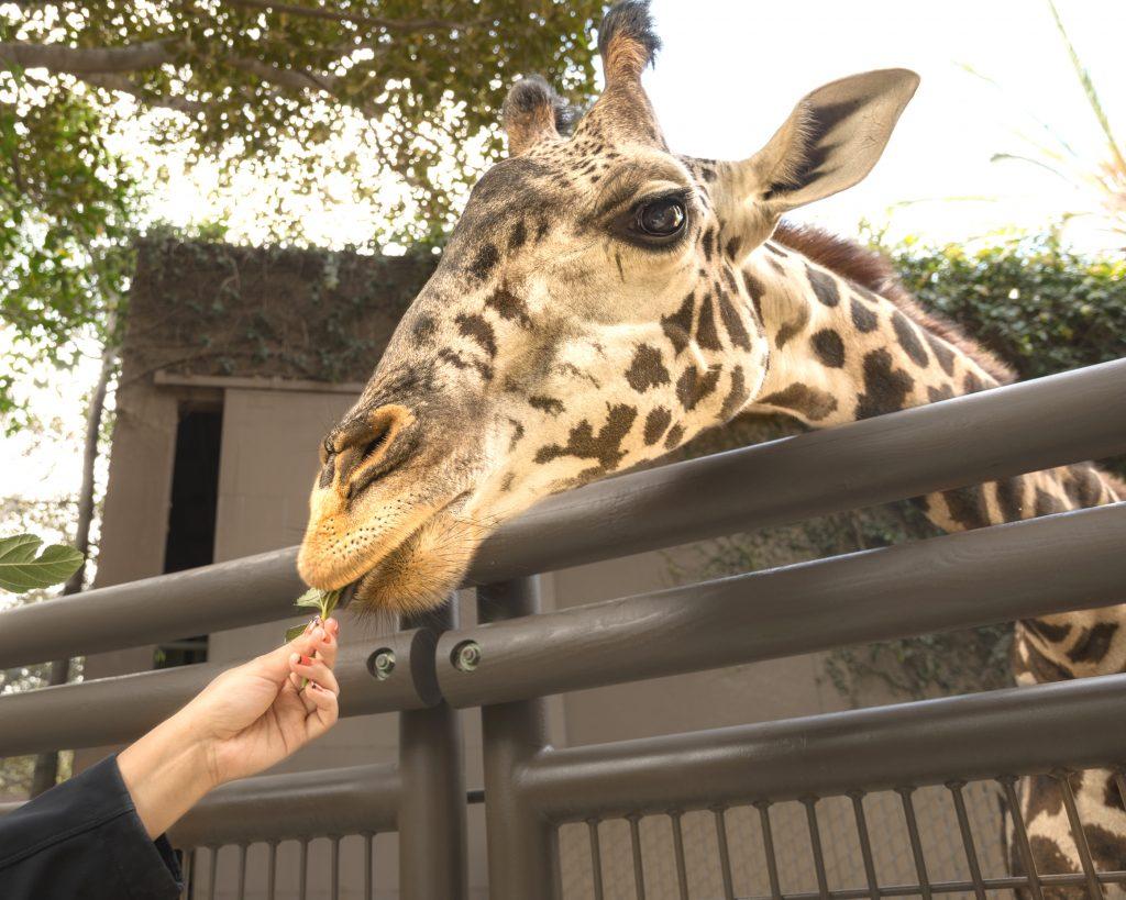 LAZoo-GiraffeFeeding3-JamiePham