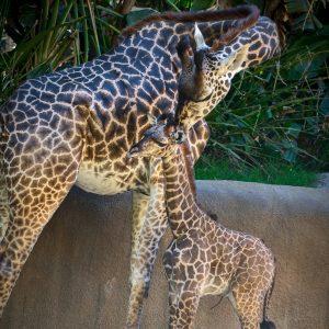 GL-Giraffes