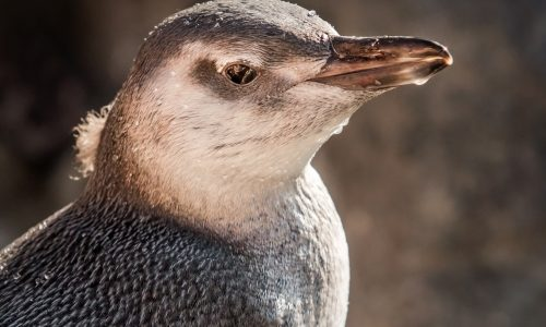Penguin Chick to Debut on Exhibit at the Aquarium Of The Pacific <small class=