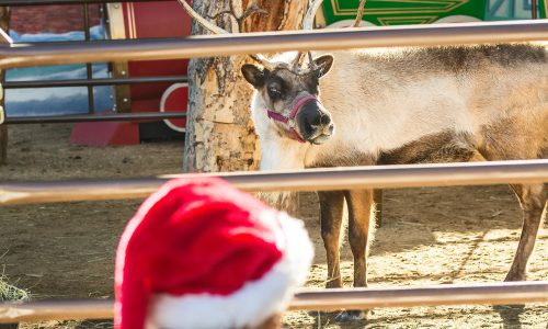 LA Zoo's Reindeer Romp Features Live Reindeer, Holiday Crafts, Keeper Talks, Photo Ops