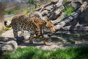 Jaguar Female Exhibit-Jamie Pham_4952