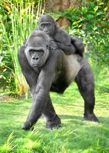 GL-Gorillas