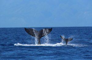 humpback.a (1)
