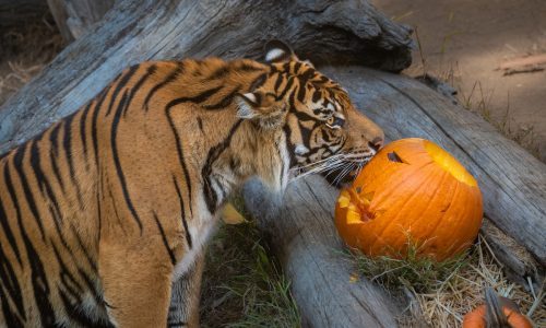 """""""BOO AT THE L.A. ZOO"""" Begins October 5th with New Shows, Animal Activities and VIP Experiences, every weekend in October!"""